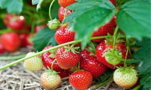 Эти ягоды помогают справиться с атеросклерозом, гипертонией, неврастенией и даже бессонницей